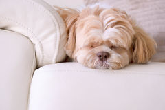 A shih tzu dog is sleeping on the sofa. It happy time royalty free stock image