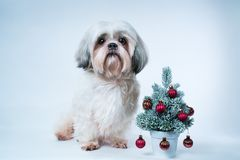 Shih tzu dog. With small new year tree on white and blue background Stock Image