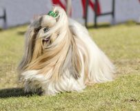 Shih Tzu dog. A small young light brown, black and white tan Shih Tzu dog with a long silky coat and braided head coat running on the grass royalty free stock images