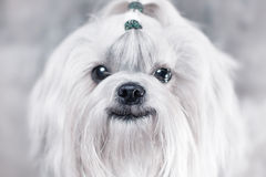 Shih tzu dog smiling. Bright white colors stock images