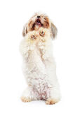Shih Tzu Dog Standing and Begging. Cute Shih Tzu breed dog standing up on her hind legs with front paws up begging stock photography