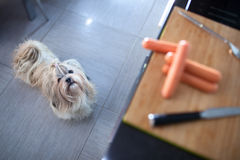 Shih tzu dog standing in kitchen Royalty Free Stock Image