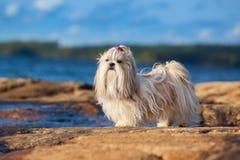 Shih-tzu dog. Standing on lake shore royalty free stock image