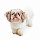 Shih Tzu Dog Standing Looking Forward. A shabby looking Shih Tzu breed dog standing looking forward stock images