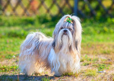 Shih-tzu dog. Standing outdoors at countryside. Green grass on background stock photos