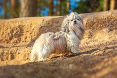 Shih-tzu dog Stock Photo