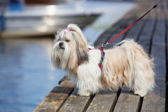 Shih-tzu dog. Standing on wooden bridge and looking on water stock images