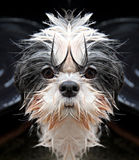 Shih Tzu dog staring at the camera. Royalty Free Stock Photography