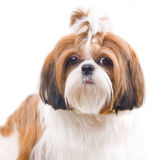 Shih Tzu dog. In studio on a white background royalty free stock images