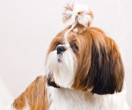 Shih Tzu dog in studio on a white royalty free stock images