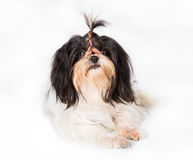 Shih Tzu dog in studio Royalty Free Stock Images