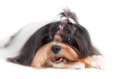 Shih Tzu dog in studio Stock Image
