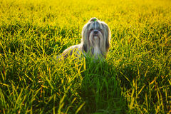 Shih tzu dog. In summer grass at sunset light stock photos
