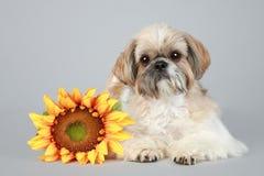 Shih Tzu dog with sunflower. Lying on grey background stock photos
