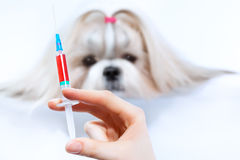 Shih tzu dog treatment Stock Photos