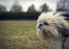 Shih Tzu Dog Ungroomed sveglio e Scraggly in vento Fotografia Stock Libera da Diritti