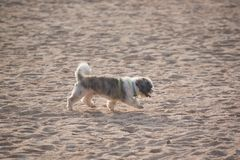 Shih Tzu dog walking on the beach stock images