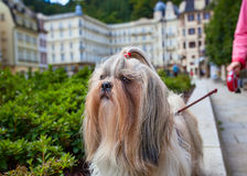 Shih-tzu dog. Walking in traditional europe city. Woman holding him on lead royalty free stock photography