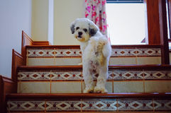 Shih Tzu dog walking up the stairs. And looking back Royalty Free Stock Photo