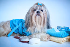 Shih tzu dog after washing. With bathrobe, towels and comb. Soft blue background tint stock photography
