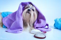 Shih tzu dog after washing Royalty Free Stock Photography