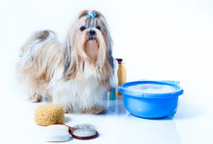 Shih tzu dog washing. Concept. Portrait with comb, towels and soap. On white background stock photos