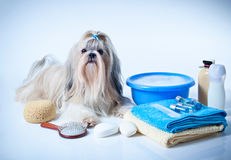Shih tzu dog washing. Concept. Portrait with comb, towels and soap. On white and blue background stock images