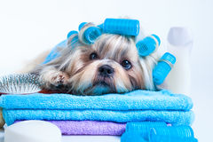 Shih tzu dog after washing Stock Images