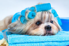 Shih tzu dog after washing Stock Photography