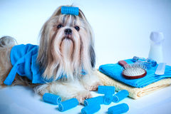 Shih tzu dog washing stock photos