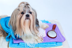 Shih tzu dog after washing. With towels and comb. On white background royalty free stock photo