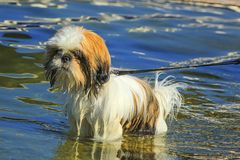 Shih Tzu dog in the water. Shih Tzu dog standing in the water by day stock photos