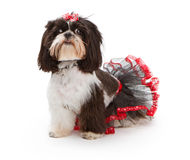 Shih Tzu Dog wearing a black and red tutu Royalty Free Stock Photo