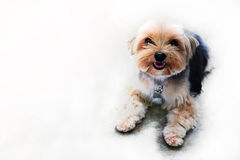 Shih tzu dog in the white background Royalty Free Stock Photo