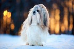 Shih tzu dog. Winter portrait royalty free stock photo