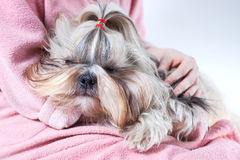 Shih tzu dog on young woman hands royalty free stock photos