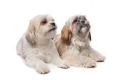 Shih Tzu Dogs Stock Image