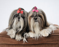 Shih Tzu dogs Stock Images