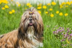 Shih Tzu dogs outdoors sitting on green grass. Shih Tzu young dog outdoors among green grass field royalty free stock photography