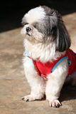 Shih tzu Dogs are sit. Royalty Free Stock Photography