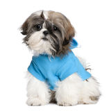 Shih Tzu with dresses. In front of a white background stock images