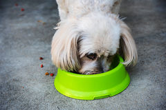 Shih Tzu eat dry dog food. Cute Shih Tzu eat dry dog food on green bowl Royalty Free Stock Photos