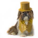 Shih Tzu in einem Goldphantasie-Kostüm Stockbild