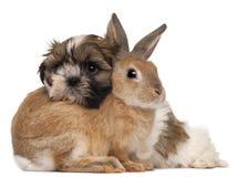 Shih-Tzu en konijn Stock Afbeeldingen