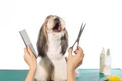 Shih-tzu en las manos del groomer con el peine y las tijeras Imagen de archivo