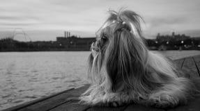 The Shih Tzu Eye. A beautiful Shih Tzu dog enjoying the sunset royalty free stock image