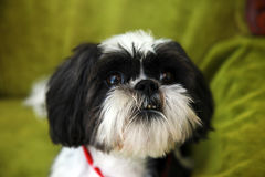 Shih Tzu face Stock Images