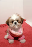 Shih Tzu Fashion Royalty Free Stock Image