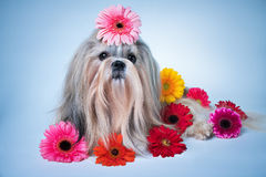 Shih tzu with flowers portrait Stock Photography
