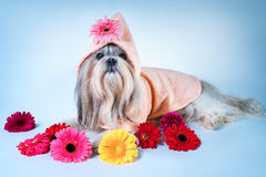 Shih tzu with flowers portrait. Shih tzu dog in pink bathrobe lying with flowers. Relaxing and good fragrance spa concept Royalty Free Stock Photography